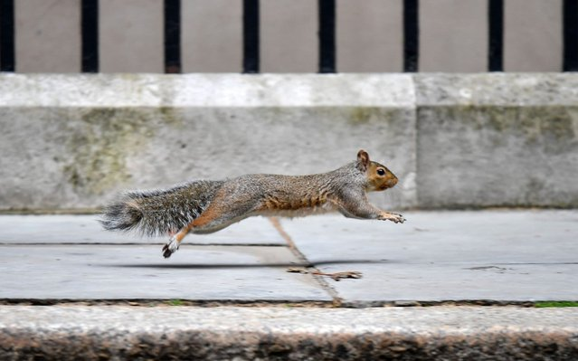 A squirrel runs past 10 Downing Street in central London on September 4, 2019. Prime Minister Boris Johnson raised the prospect of a snap election on Tuesday after he suffered a major parliamentary defeat over his Brexit strategy that could delay Britain's exit from the European Union. Just six weeks after taking office, the Conservative leader was hit by a huge rebellion among his own MPs that leaves him without a working majority in the House of Commons as he looks to take Britain out of the EU on October 31. (Photo by Daniel Leal-Olivas/AFP Photo)