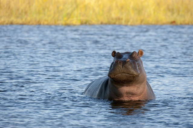Hippopotamus (Hippopotamus amphibius) in river near Chitabe in the Okavango Delta in northern part of Botswana on June 12, 2014. (Photo by Wolfgang Kaehler/LightRocket via Getty Images)