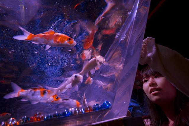 A woman looks at goldfish through the warped wall of a fish tank at the Art Aquarium exhibition in Tokyo July 10, 2015. (Photo by Thomas Peter/Reuters)