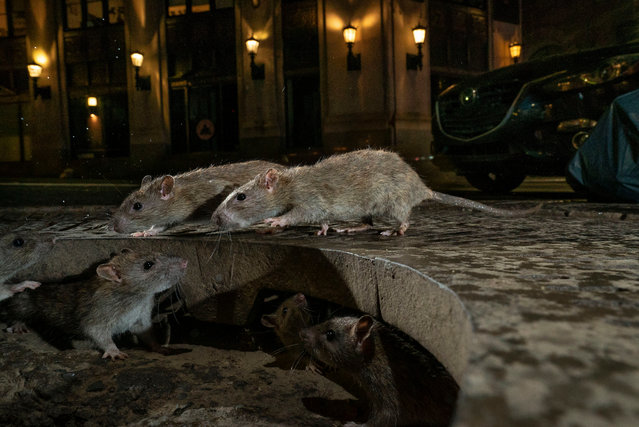 Urban wildlife winner: The Rat Pack by Charlie Hamilton James, UK. On Pearl Street, in New York's Lower Manhattan, brown rats scamper between their home under a tree grille and a pile of garbage bags full of food waste. (Photo by Charlie Hamilton James/2019 Wildlife Photographer of the Year)