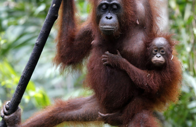 A baby orangutan clings to its mother in Tanjung Puting National Park, in Kalimantan (Indonesian Borneo), Indonesia, September 2, 2013. Orangutan babies are nurtured for long periods unusual in the animal world staying close for seven or eight years. Orangutans are an endangered species and live only in Borneo and Sumatra, where their numbers are in severe decline. (Photo by Barbara Walton/EPA)