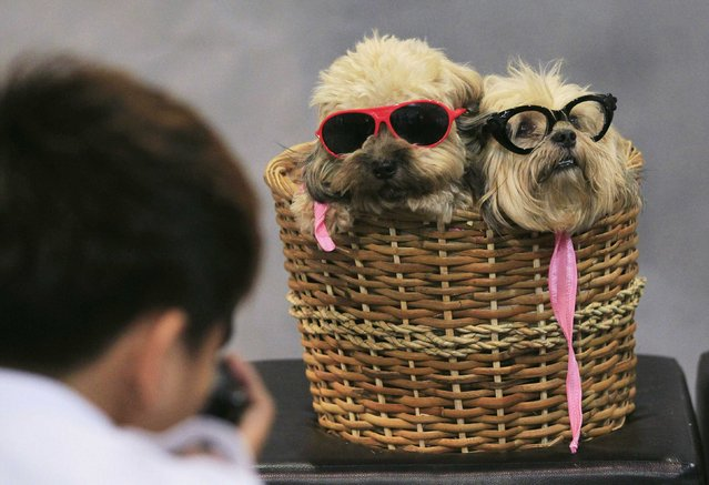 A photographer takes pictures of Lhasa Apso dogs in a basket, during a Dog and Cat Expo in Manila June 29, 2014. (Photo by Romeo Ranoco/Reuters)