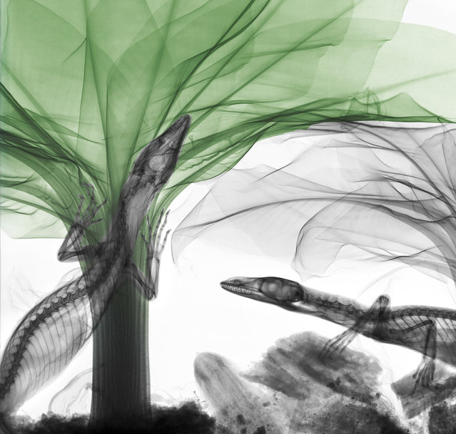Coloured X-ray of monitor lizards on a banana tree. A physicist has used X-ray to create an extraordinary collection of artwork. Arie van't Riets pictures reveal birds, fish, monkeys and flowers in an incredible new light. The 66-year-old, from Bathmen in the Netherlands, began X-raying flowers as a means to teach radiographers and physicians how the machine worked. But after adding a bit of colour to the pictures, the retired medical physicist realised the potential for an exciting new collection of art. (Photo by Arie van't Riet/Barcroft Media)