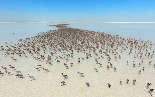 Thousands of flamingo chicks have emerged from their nests at Salt Lake, which is home to the biggest flamingo colony in Turkey and the Mediterranean basin, in Aksaray, Turkey, June 28, 2016. (Photo by Murat Oner Tas/Anadolu Agency/Getty Images)