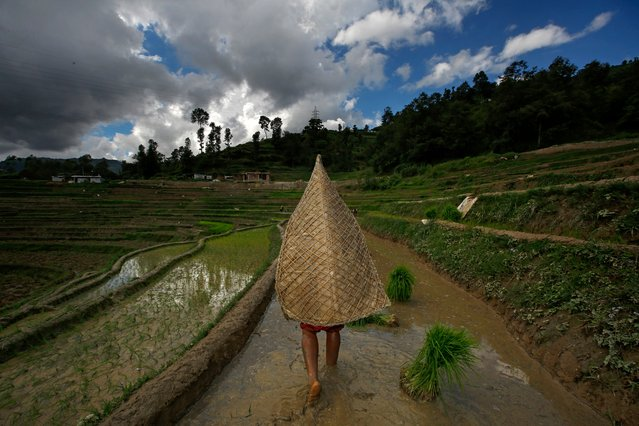 Farmers plant rice in a paddy field during National Paddy Day Tinpiple village, on the outskirt of capital Kathmandu, Nepal, 29 June 2017. Nepal is celebrating National Paddy Day with various event on 29 June 2017. On this day, known as Asar Pandra, farmers begin the annual rice planting season and mark the day with various festivities such as preparing rice meals with muddy water, mud being a symbol for a prosperous season. The agricultural sector contributes about 28.9 per cent to Nepal's gross domestic product (GDP). (Photo by Narendra Shrestha/EPA)