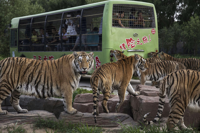 Siberian Tigers pace as they wait to be fed by tourists on a bus at the Heilongjiang Siberian Tiger Park on July 5, 2017 in Harbin, northern China. (Photo by Kevin Frayer/Getty Images)