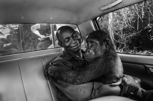 A gorilla in the hands of her carer as they drive to a new and larger sanctuary run for the care of orphaned or captive apes rescued by Ape Action Africa in Cameroon. (Photo by Jo-Anne McArthur/Photographers Against Wildlife Crime/Wildscreen/The Guardian)