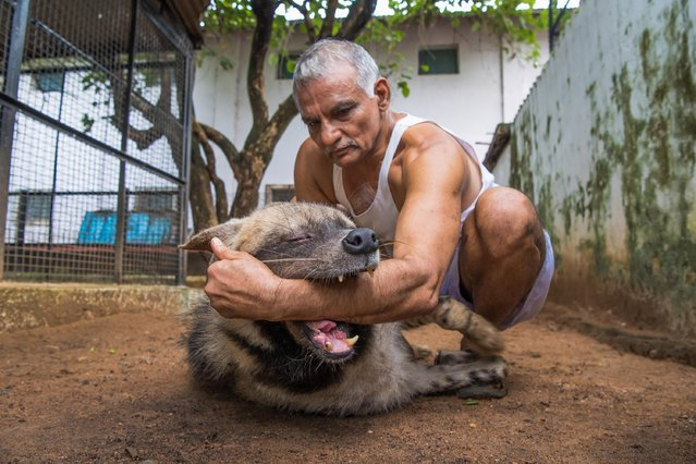 Prakash Amte is seen playing with a Hyena from his orphanage on September 19, 2017 in Maharashtra, India. (Photo by Haziq Qadri/Barcroft Media)