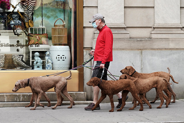 A man walks six identical dogs while wearing a protective mask during the coronavirus pandemic on May 18, 2020 in New York City. COVID-19 has spread to most countries around the world, claiming over 318,000 lives with over 4.8 million infections reported. (Photo by Cindy Ord/Getty Images)