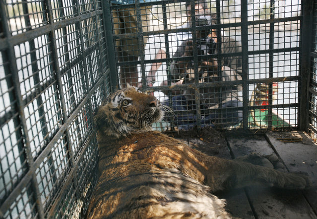 A rescued tigress kept in a cage on a boat is taken for treatment and observation at Shonagon village in Sunderbans, south of Kolkata, February 22, 2010. (Photo by Parth Sanyal/Reuters)