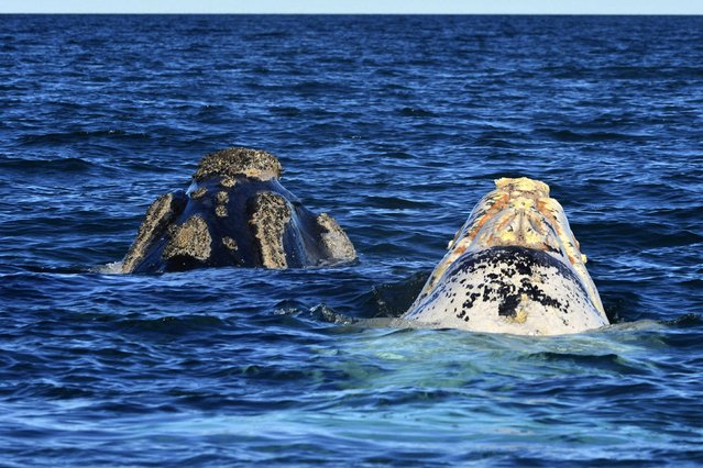 An albino Southern Right Whale calf (R) known in Spanish as ballena franca austral, and its mother, swim in the waters of the Atlantic Sea, offshore Golfo Nuevo, of the Valdes Peninsula in Argentina's Patagonia region, September 22, 2014. (Photo by Maxi Jonas/Reuters)