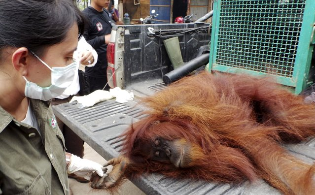 A woman staff of Natural Resources Conservation Center (BKSDA) holds an orangutan after saving it from a residential area in Sampit, Indonesia Central Kalimantan province, September 28, 2015 in this picture taken by Antara Foto. The orangutan had moved into the residential area because its forest habitat had been burned, according to local media. (Photo by Norjani/Reuters/Antara Foto)