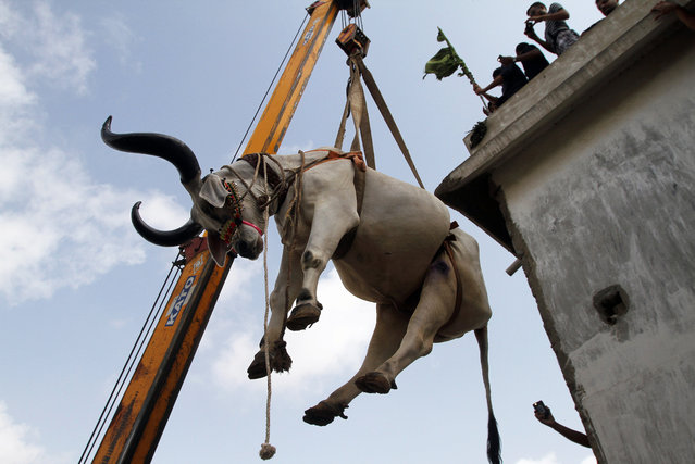 A vendor uses a crane to bring down a bull from the rooftop his triple-story house, to sell him at a cattle market set up for the upcoming Eid al-Adha, in Karachi, Pakistan, Sunday, September 4, 2016. Eid al-Adha, or the Feast of the Sacrifice, marks the willingness of the Prophet Ibrahim (Abraham to Christians and Jews) to sacrifice his son. During the holiday, which in most places lasts four days, Muslims slaughter sheep and cattle, distribute part of the meat to the poor and eat the rest. (Photo by Anjum Naveed/AP Photo)