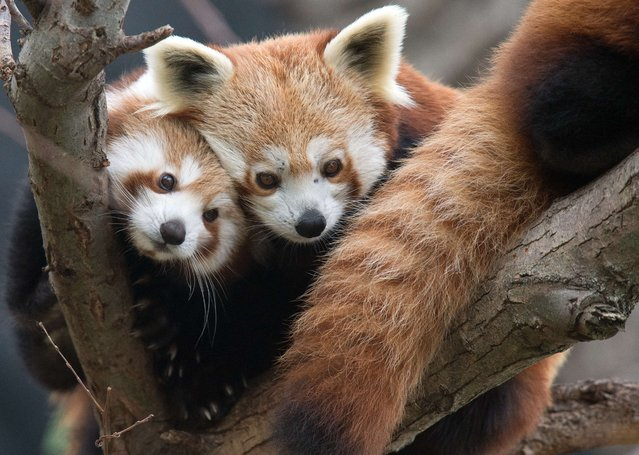 A four-months-old red panda cub and its mother (R) rest on tree branches at Bratislava's Zoo on November 13, 2014. Two cubs, Pim and Pam, were born to parents Pung and Coco on July 2. (Photo by Joe Klamar/AFP Photo)