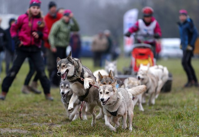 A musher races with his dogs during a sled dog European Championship in Venek November 22, 2014. (Photo by Laszlo Balogh/Reuters)