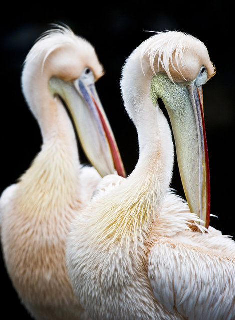 Two pelicans stand in their enclosure on February 25, 2013 at the Zoo in Frankfurt, Germany. (Photo by Nicolas Armer/AFP Photo)