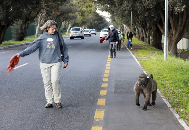 Activist Jenni Trethowan, left, founder of Baboon Matters, protects Kataza from traffic as he roams through in Tokai, Cape Town, South Africa, Thursday, September 17, 2020. Kataza was relocated from Kommetjie, on the edges of Cape Town, to a nearby area late last month after city authorities claimed he was responsible for leading other baboons in his troop on raids through the village. One activist says Kataza is now wandering alone in an unfamiliar area and sleeping in a prison yard. (Photo by Nardus Engelbrecht/AP Photo)