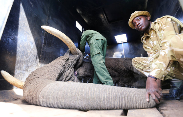 A Kenya Wildlife Service (KWS) veterinary monitor the breathing of a tranquilized elephant during a translocation exercise to Ithumba Camp in Tsavo East National Park, in Solio Ranch in Nyeri County, Kenya February 21, 2018. (Photo by Thomas Mukoya/Reuters)