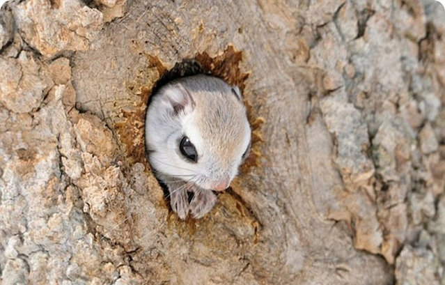 Siberian Flying Squirrels By Masatsugu Ohashi
