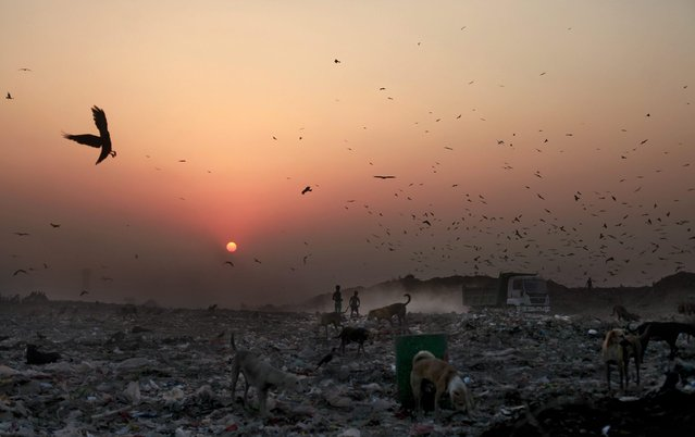 In this October 17, 2014 photo, young waste pickers look for recyclable items at a landfill as the sun sets on the outskirts of New Delhi, India. Rag picking is effectively the primary recycling system in India. While the rag pickers offer invaluable services to the city, they have few rights and are exposed to deadly poisons everyday. (Photo by Altaf Qadri/AP Photo)
