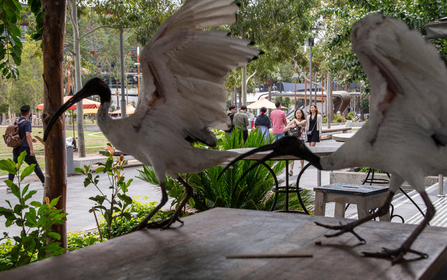 """To some, however, the ibis has earned a cult-hero status with its bald-faced, brazen will to survive, epitomising the spirit of the """"Aussie battler"""". (Photo by Rick Stevens/The Guardian)"""