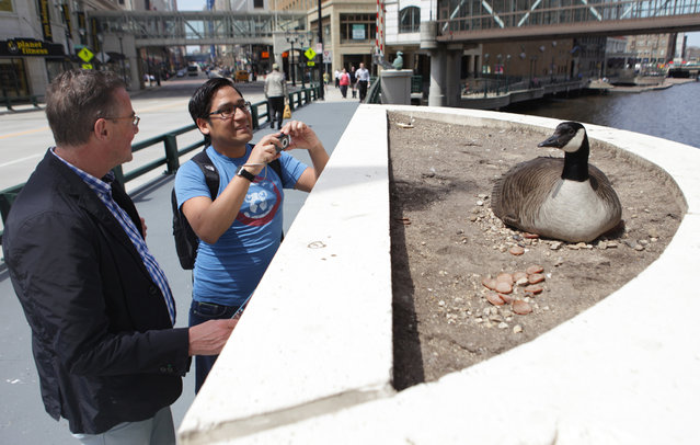 Michael Raschendorfer (left), visiting from Germany and his friend Antonio Barrenechea, visiting from Lima Peru, take look and some photos of a Canada goose that has taken up residence on near the Wisconsin Ave. Bridge on Tuesday, April 30, 2013. (Photo by Mike De Sisti)