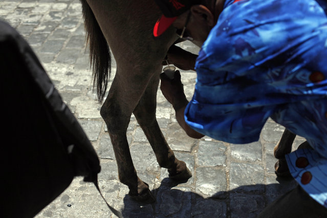 In this December 15, 2014 photo, Marco Alegria milks his donkey for a paying customer in the street in Santiago, Chile. The use of donkey's milk has persisted in some parts of the world. (Photo by Luis Hidalgo/AP Photo)
