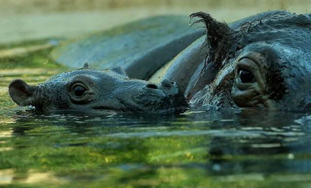 A baby hippopotamus swims with its mother at Zoo in Berlin. (Photo by Sean Gallup/Getty Images)