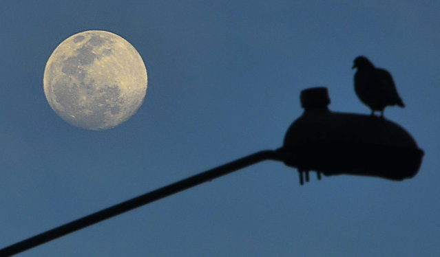 The moon is seen as a dove on a stret ligth is silhouetted in Bogota on June 21, 2013 during the summer solstice. (Photo by Luis Acosta/AFP Photo)