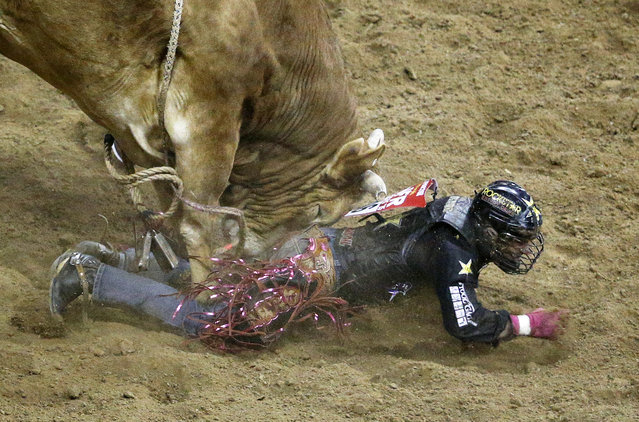 Shane Proctor gets stomped on while competing in the bull riding event during the National Finals Rodeo, Tuesday, December 8, 2015, in Las Vegas. (Photo by John Locher/AP Photo)
