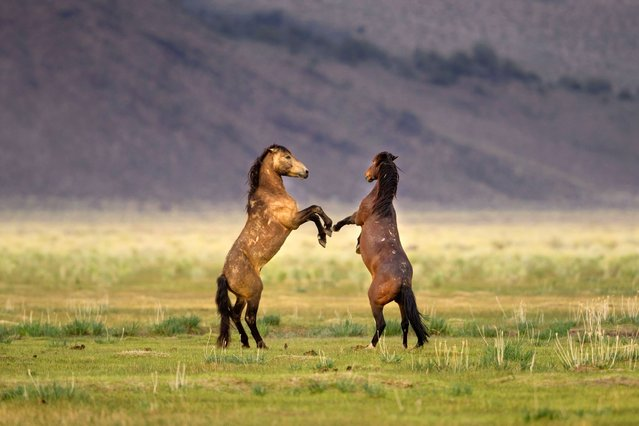 Two wild horses go 12 rounds against each other at Californias Yosemite National Park, on July 17, 2013. (Photo by Caters News Agency)