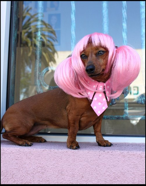 Anime Pink Pet wig. (Photo by Cushzilla/BNPS)
