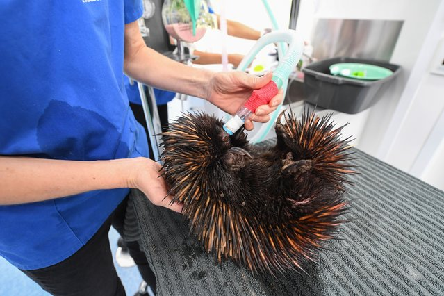 An echidna is attended to in the Byron Bay Mobile Wildlife Hospital having been found injured beside a road escaping to higher ground after heavy rain on March 24, 2021 in Byron Bay, Australia. (Photo by James D. Morgan/Getty Images)