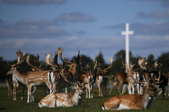 Deer rest in front of the Papal cross during sunny weather at the Phoenix Park in Dublin, Ireland, September 4, 2018. (Photo by Clodagh Kilcoyne/Reuters)
