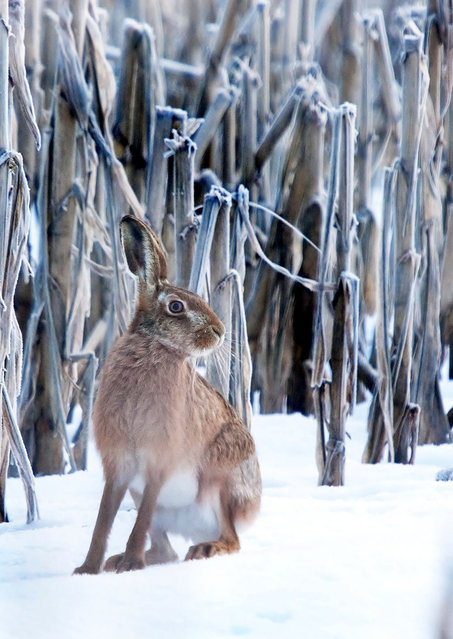 A hare in the snow. (Photo by Adam Tatlow/BNPS)