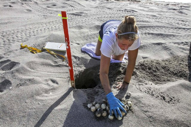 Loggerhead Marinelife Center research technician Sara Thomas excavates a turtle nest in Coral Cove Park. Three days after a nest hatches out, technicians dig up the nests to free any turtle that didn't make it out, count the empty shells left behind and record the data. (Photo by Greg Lovett/The Palm Beach Post)