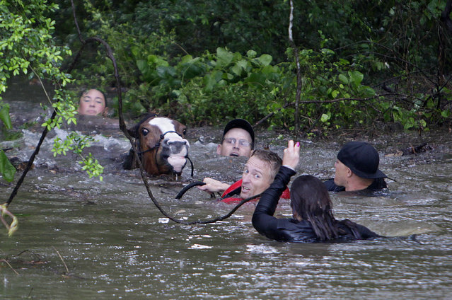 Justin Nelzen, in red vest, joins others as they work to rescue up to 70 horses along Cypresswood Drive near Humble along Cypress Creek, Monday, April 18, 2016, in Houston. More than a foot of rain fell Monday in parts of Houston, submerging scores of subdivisions and several major interstate highways, forcing the closure of schools and knocking out power to thousands of residents who were urged to shelter in place. (Photo by Mark Mulligan/Houston Chronicle via AP Photo)