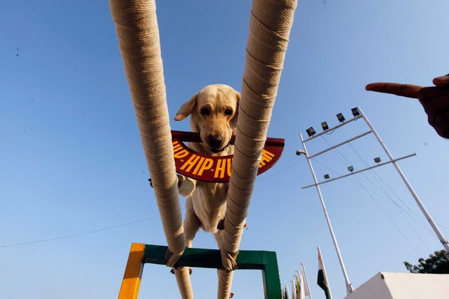 NDMA corps display the performance of trained canines in a dog show during a Mock earthquake rescue drill perform at India International Trade Fair, on November 20, 2013. (Photo by Rajk Raj/Hindustan Times)