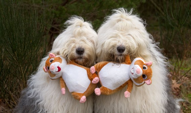 Sophie and Sarah pose with chipmunk toys in their mouths. (Photo by Cees Bol/Caters News Agency/Mercury Press)