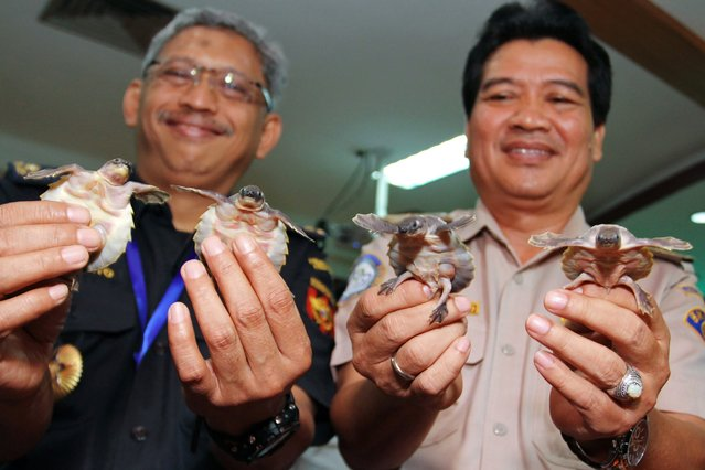 This photograph taken on February 22, 2016 shows Indonesian customs officials displaying four of more than 4,000 protected turtles seized in Tangerang, Banten province, after authorities foiled an attempt to smuggle the animals into China. More than 3,700 pig-nosed turtles and nearly 900 snake-necked turtles were found at the weekend, hidden in containers in a building on the outskirts of the capital Jakarta. (Photo by Bima Sakti/AFP Photo)