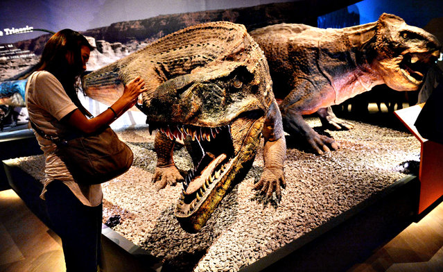 """A visitor take a photo of a life size replica of a lizard crocodile 'Sauroshuchus' exhibited at the Art Science Museum during a media preview in Singapore on January 23, 2014. The exhibit called """"Dinosaurs: from dawn to extinction"""" traces evolution of dinosaurs 600 years back in time. The exhibition will open to visitors from January 25 to July 27. (Photo by Roslan Rahman/AFP Photo)"""