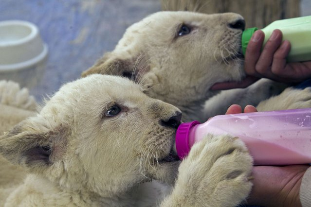 White lion cubs are fed at Guadalajara Zoo, in Guadalajara city, Mexico on January 30, 2014. The two lions were born 90 days ago and will be transfered to new zoos. (Photo by Hector Guerrero/AFP Photo)