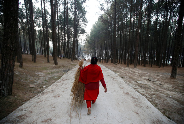 A devotee carrying hay walks through the woods of Changu Narayan as she arrives to perform rituals and prayers during the Swasthani Bratakatha festival in Bhaktapur, Nepal February 8, 2017. (Photo by Navesh Chitrakar/Reuters)