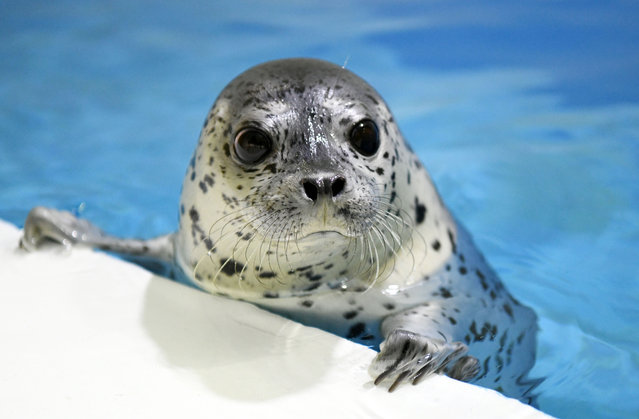 One of three seal pups at the seal kindergarten which was put into service at Polarland recently in Harbin, China on May 1, 2019. All three are less than 3 months old and will play and grow together. (Photo by Xinhua News Agency/Barcroft Images)