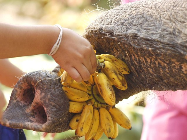 An elephant grabs bananas with its trunk as it is fed by a Thai student during an all-you-can-eat elephant buffet held to mark the National Elephant Day at the ancient historical city of Ayutthaya. (Photo by Rungroj Yongrit/EPA)