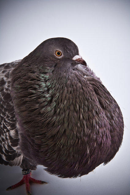 Marchenero Cropper. Darwin's Pigeons series. (Photo by Photo by Richard Bailey/Caters News)