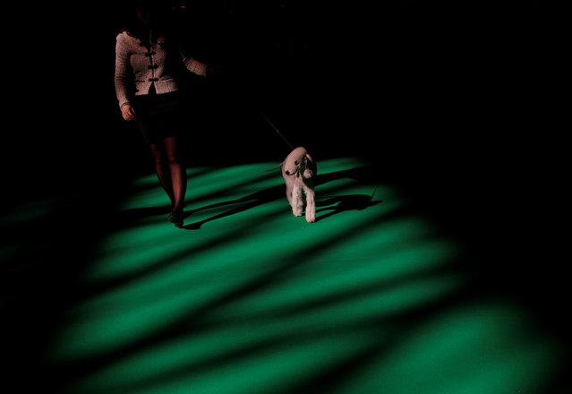 A Bedlington Terrier is shown during the first day of the Crufts Dog Show in Birmingham, Britain March 9, 2017. (Photo by Darren Staples/Reuters)