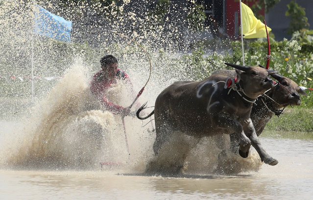 A Thai farmer controlling a pair of buffaloes competes in the flooded field during the annual Wooden Plow Buffalo Race in Chonburi Province, southeast of Bangkok, Thailand, Saturday, July 13, 2019.  (Photo by Sakchai Lalit/AP Photo)