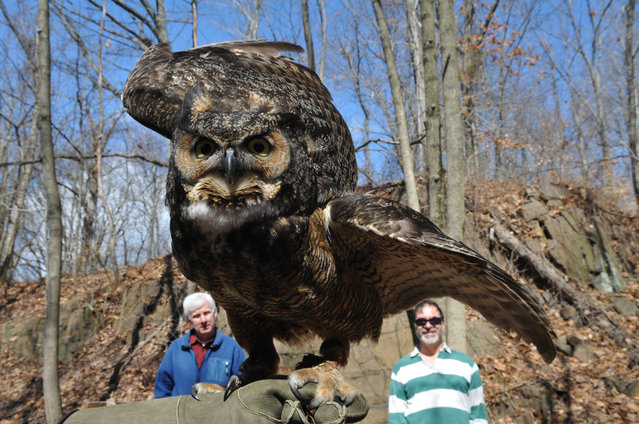 Flatrockbrook Nature Center education director, Jill Bennetta, shows off the new Great Horned Owl that came to the aviary as a gift Thursday March 20, 2014. It is a rescued owl from Seattle, WA. The owls are also native to this area. Visitors looking on are Don McNeil of Bergenfield and Egidio Durante from Ledgewood. (Photo by Don Smith/AP Photo/The Record of Bergen County)