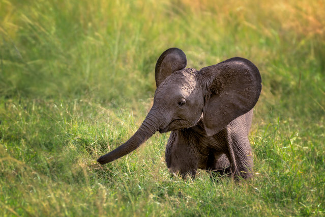Baby elephant in Kenya on March 6, 2016. (Photo by Enn Li Photography/Moment RF via Getty Images)